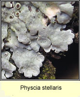 Physcia stellaris