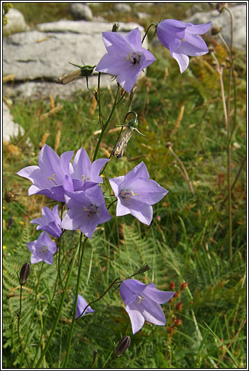 Campanula Rotundifolia Leaf Wildflowers - Harebell...