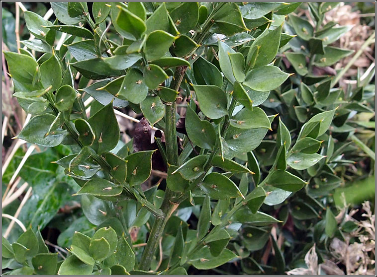 Wildflowers butcher 39 s broom ruscus aculeatus for Arboles de jardin de hoja perenne